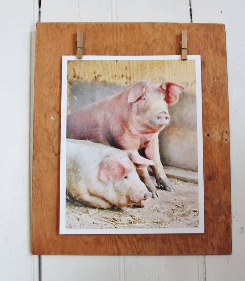 pig photo on vintage wood display